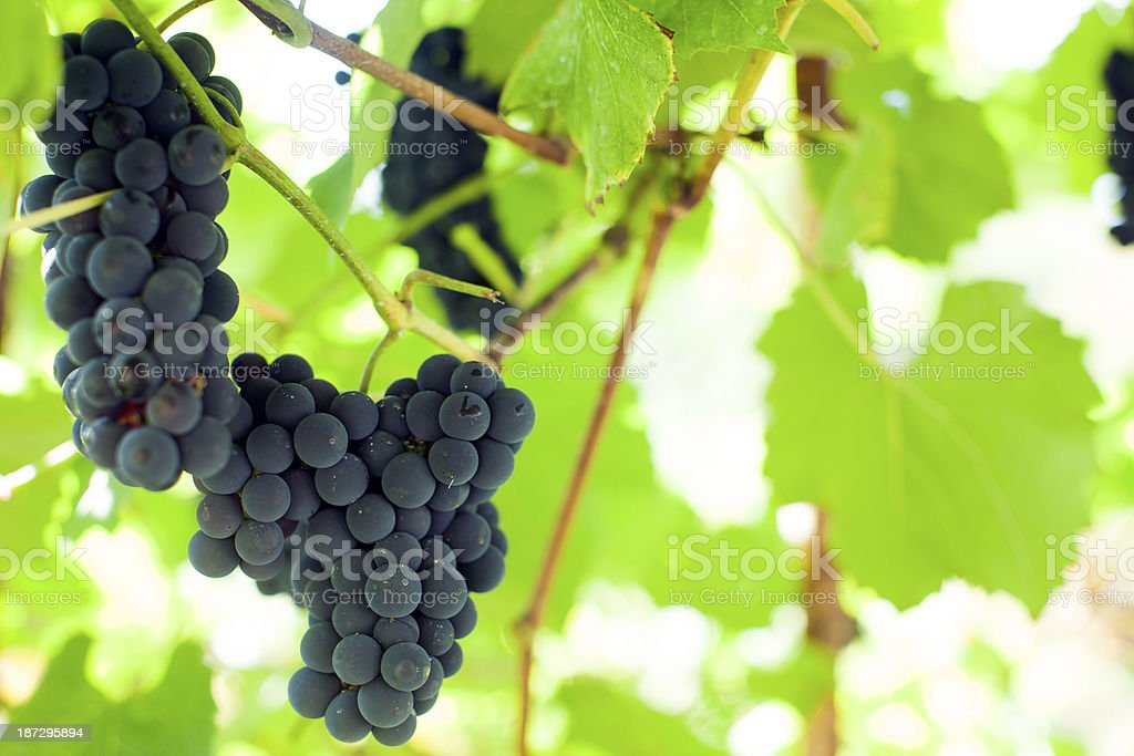Grapes on a branch. royalty-free stock photo
