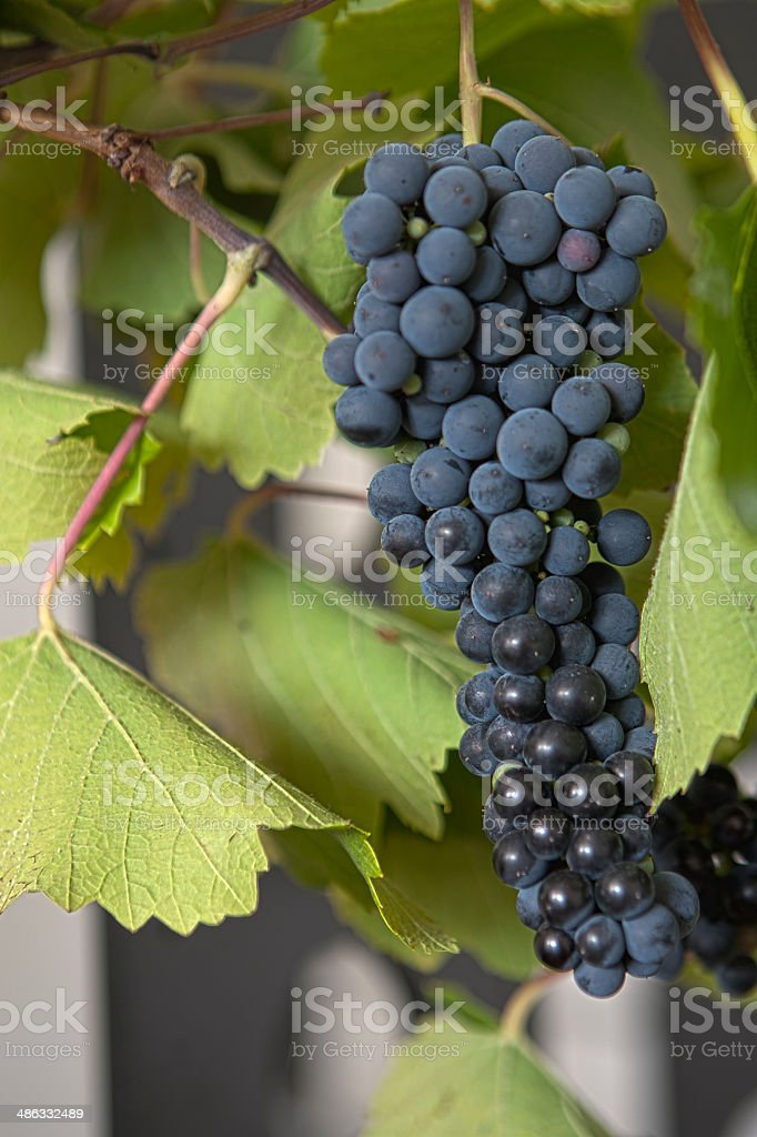 Grapes on a grapevine stock photo