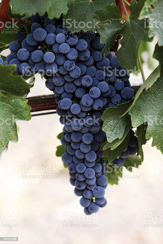 ブドウをバイン - つる草のロイヤリティフリーストックフォト