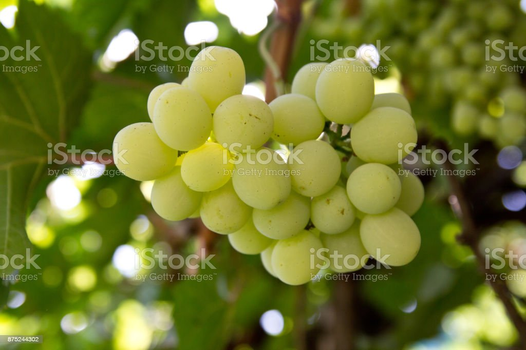 Grapes on the nature stock photo