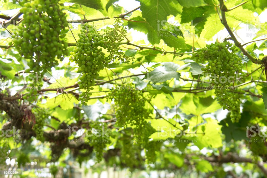 Grapes on the vine in a greenhouse. stock photo
