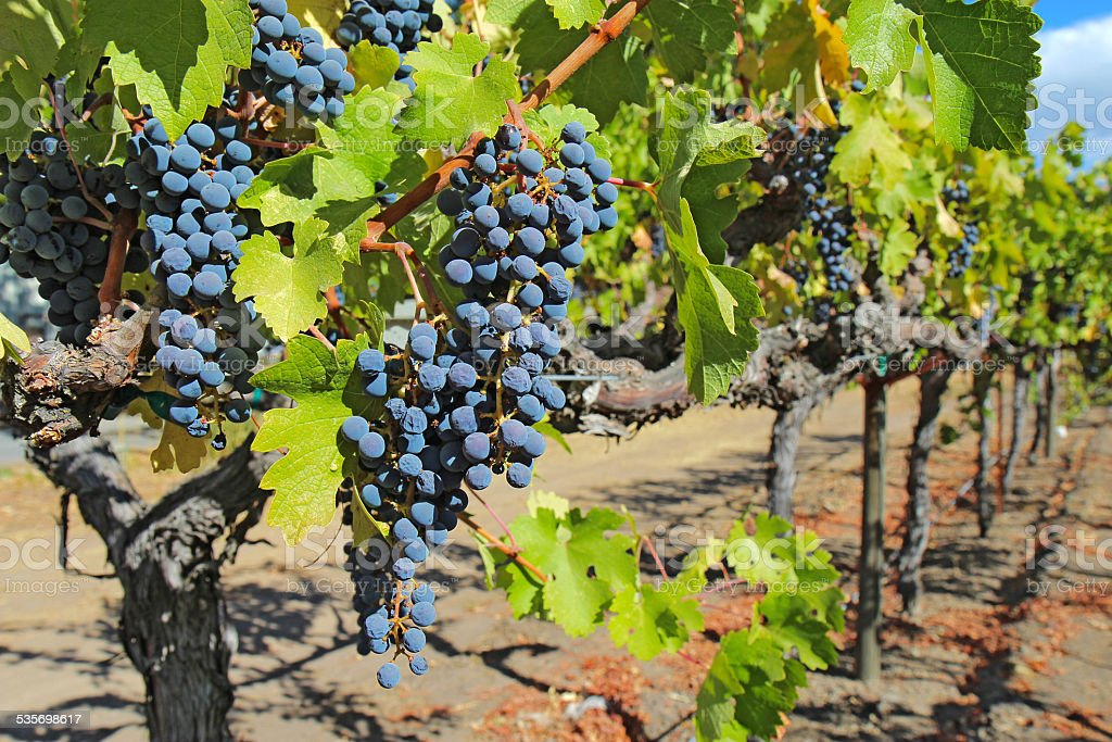 Grapes on the vine, Napa Valley of California stock photo