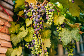 Bunch of green and purple grapes on the vine with leaves.