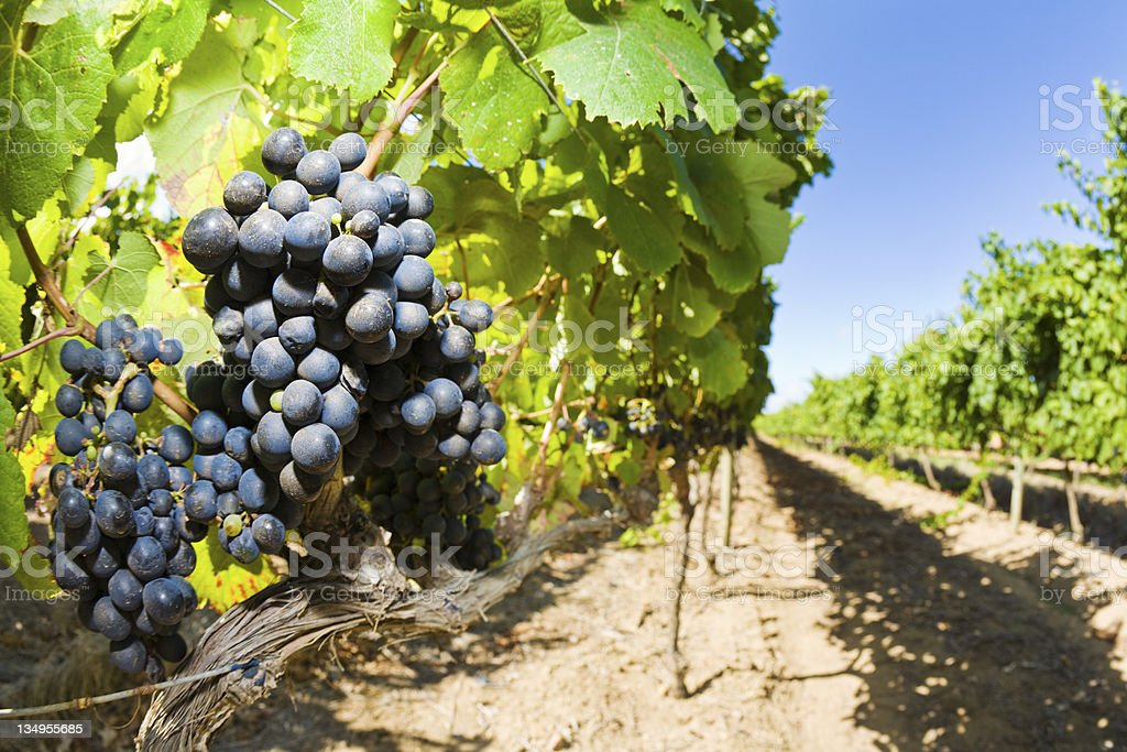 Red grapes in a vineyard in the Constantia wine-growing region near...
