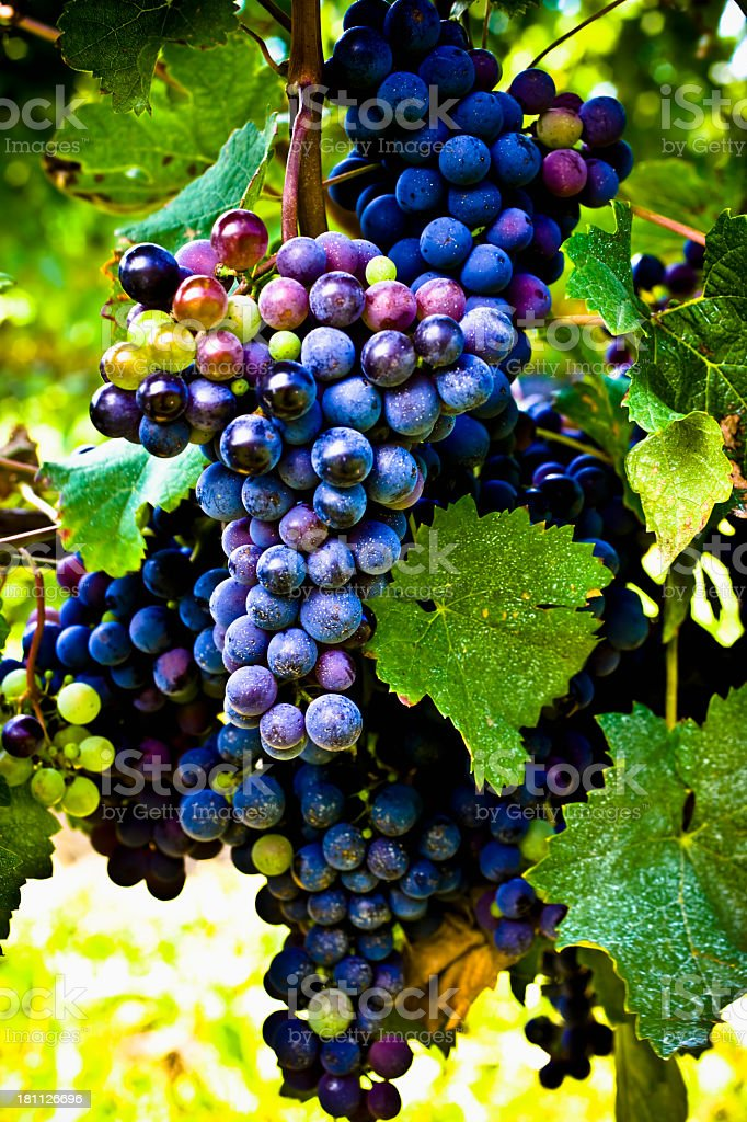 Grapes on the vine. stock photo
