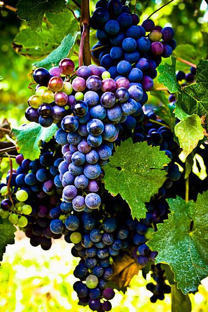 Grapes on the vine. Ripe cabernet grapes. Selective focus. cabernet sauvignon grape stock pictures, royalty-free photos & images