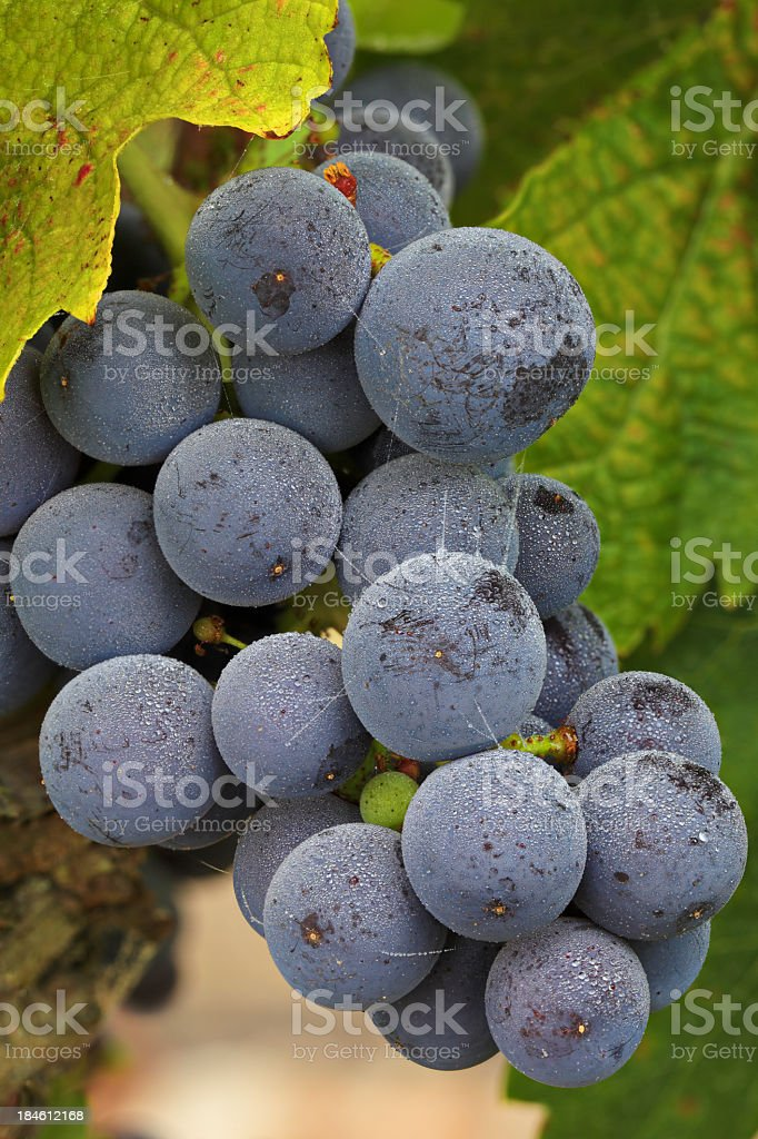 Grapes on the Vine royalty-free stock photo