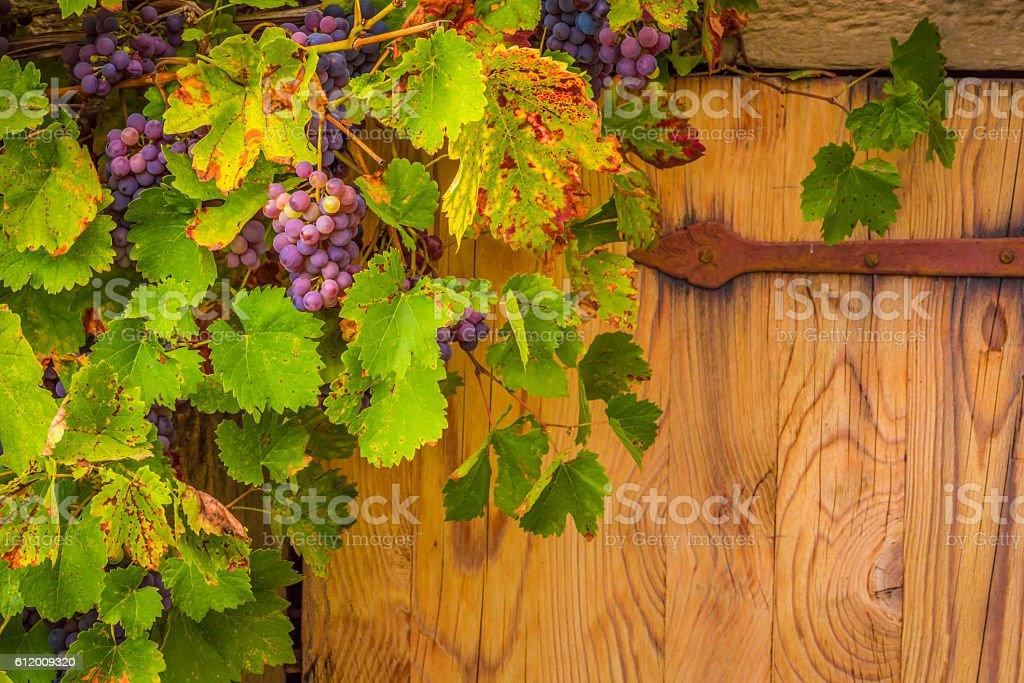 Grapes on their vines stock photo