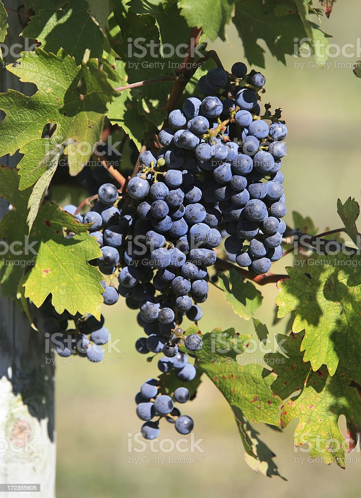 Grapes on Vine in Vineyard royalty-free stock photo