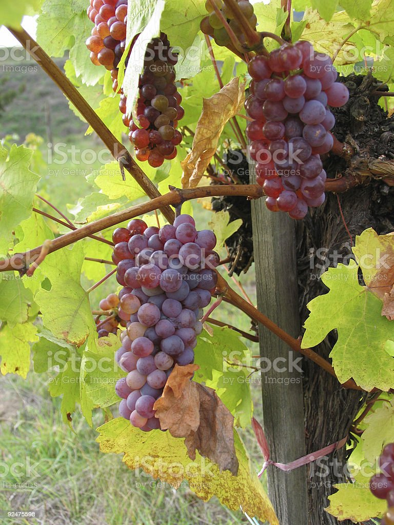 grapes on vine royalty-free stock photo