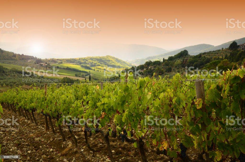 Grapes on vineyard in Chianti region, Tuscany. Italy stock photo