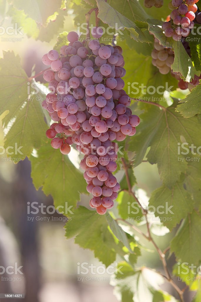 Grapes on Vineyard royalty-free stock photo