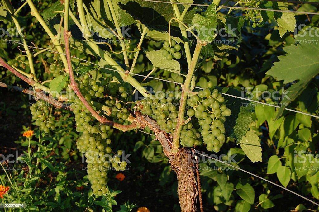 Weintrauben Panorama Hintergrund stock photo