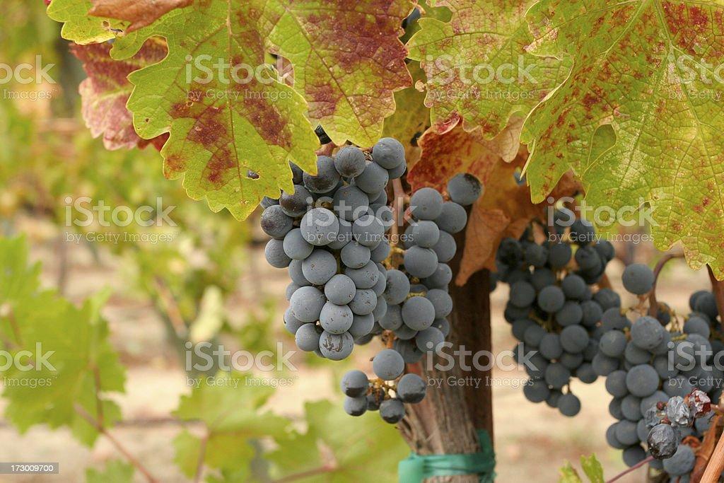 Weintrauben – Foto