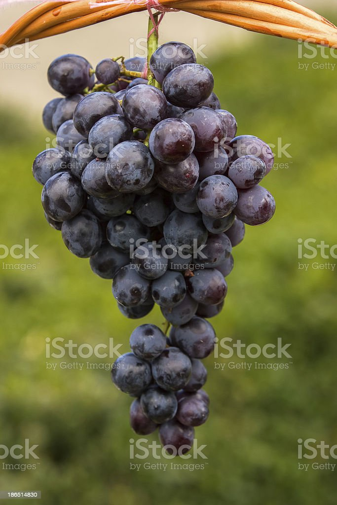 Grapes royalty-free stock photo