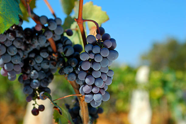 Grapes Grapes in sunny wineyard merlot grape stock pictures, royalty-free photos & images
