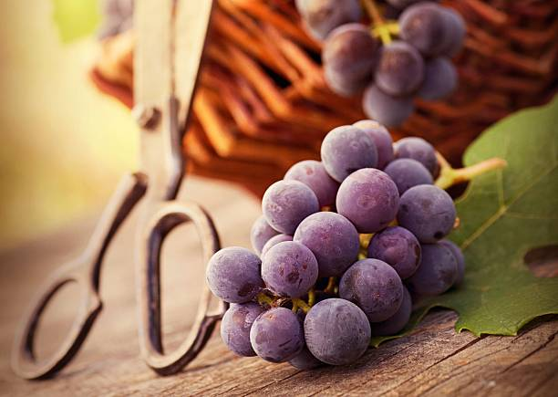 Grapes. stock photo