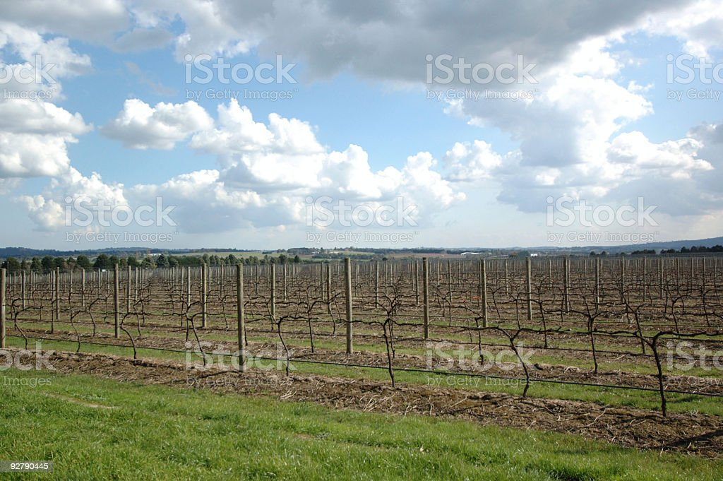 Grapes Plantation #2 royalty-free stock photo