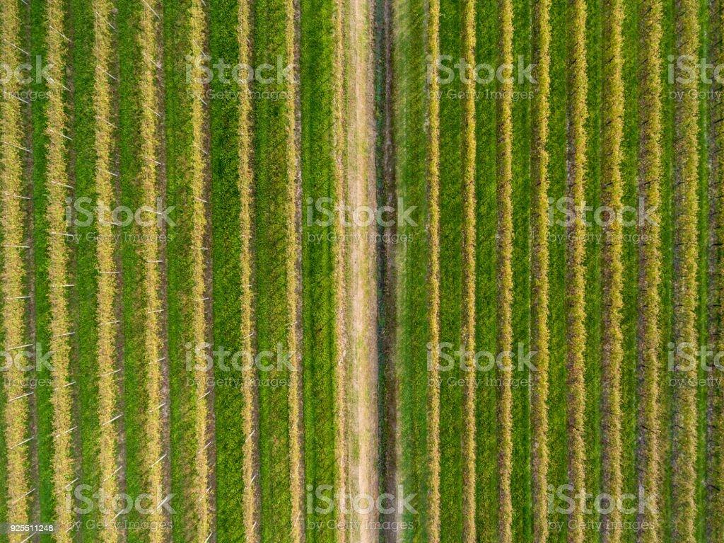 Grapes Plantations. stock photo