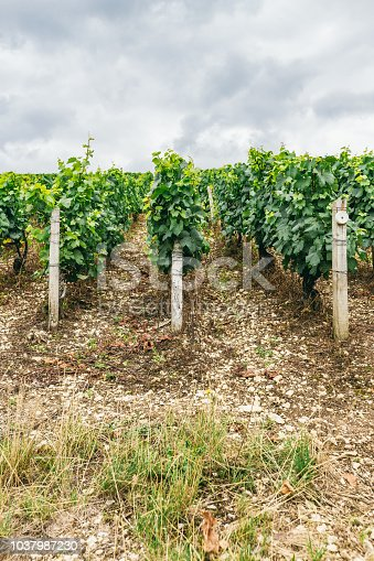 924487256 istock photo Grapes planted in rows, winemaking in France, northern Burgundy 1037987230