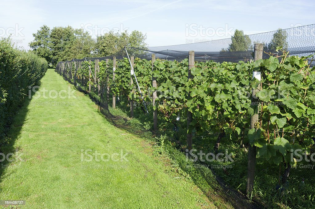 Grapes plants royalty-free stock photo
