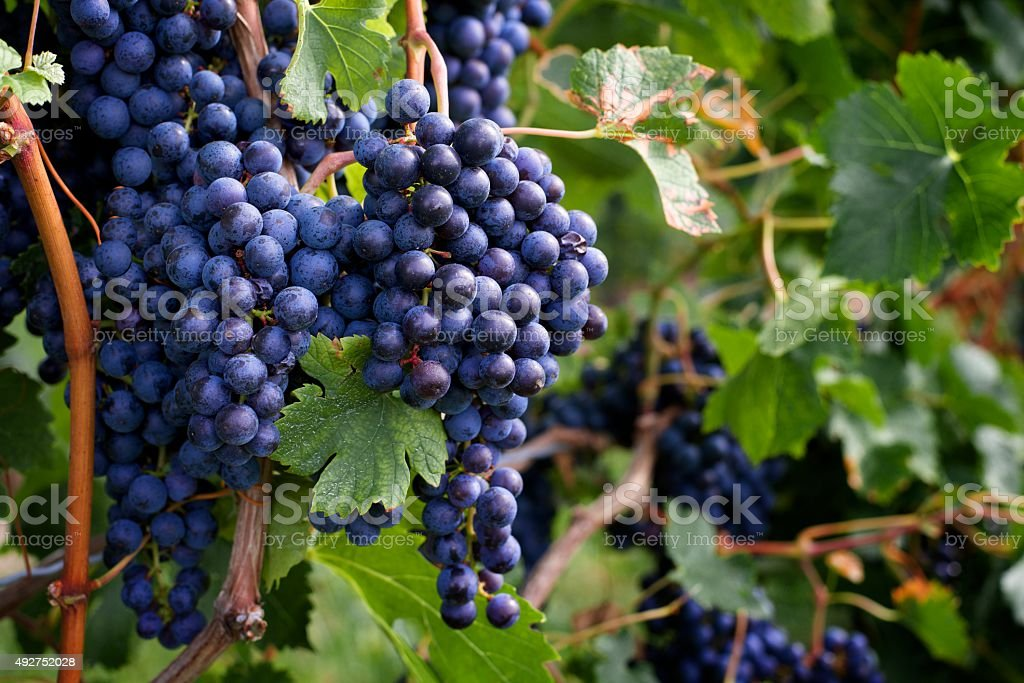 Grapes ready for harvest in Niagara stock photo