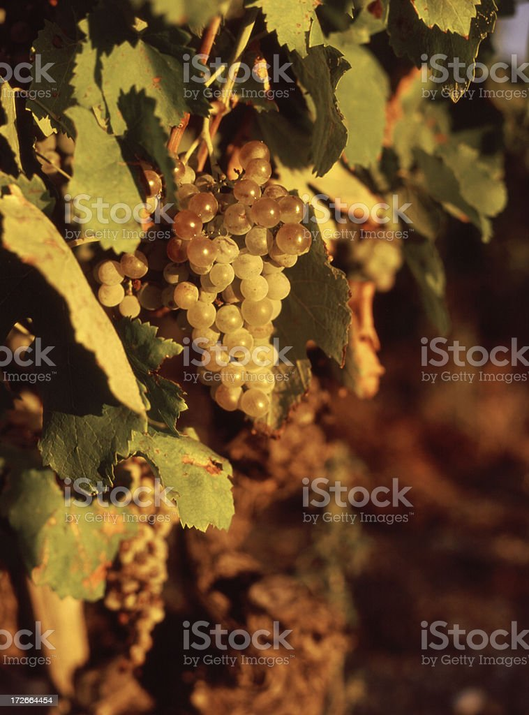 Grapes Ready for Harvest royalty-free stock photo
