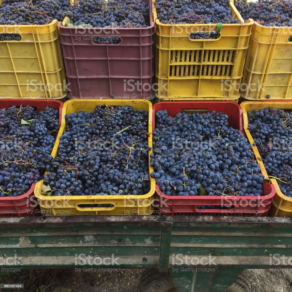 grapes ready for squeezing stock photo