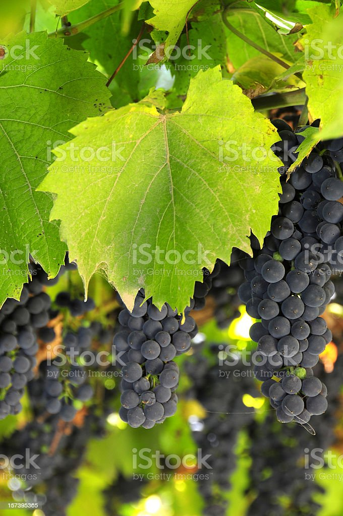 Grapes series royalty-free stock photo