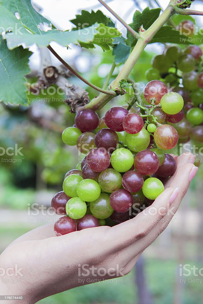 grapes to eat with the left hand royalty-free stock photo