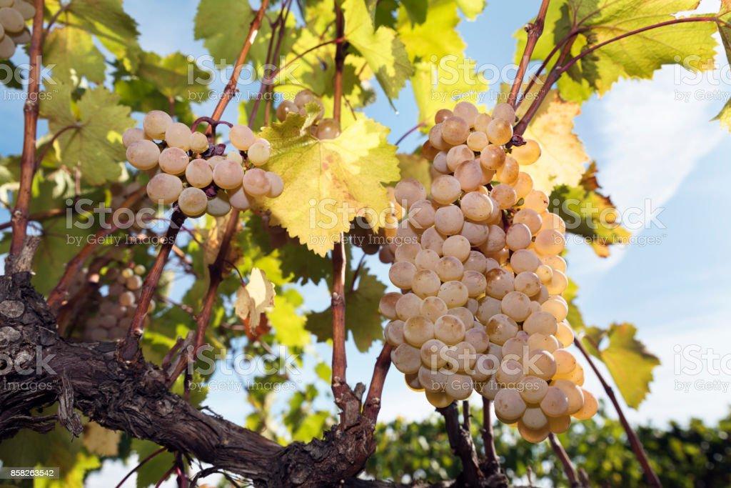 Grapes Vineyard Harvesting Vine Amber Rkatsiteli stock photo