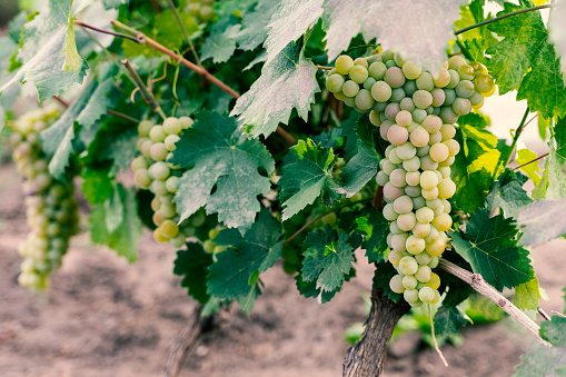 Grapes white wine on tree with branch and green background Agricultural background. Selective focus.