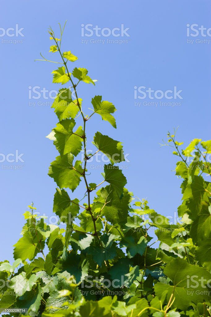 Grapevine against blue sky - foto stock