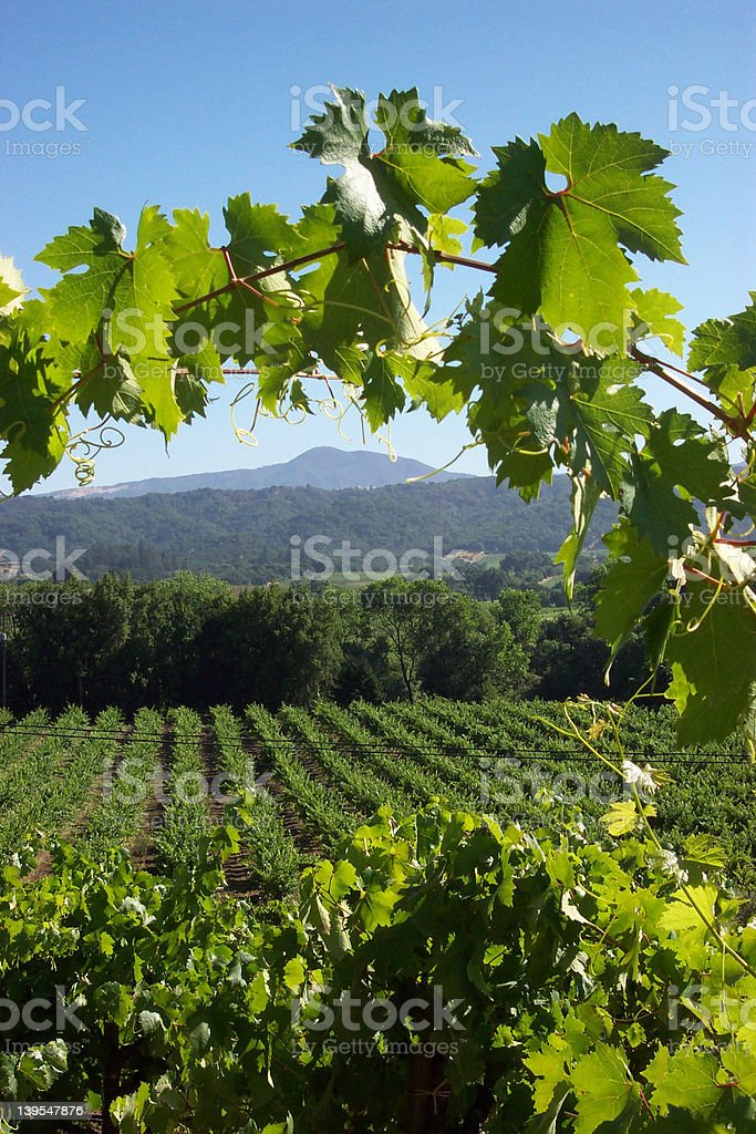 Grapevine arch royalty-free stock photo