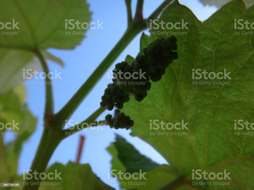 Grapevine branch stock photo