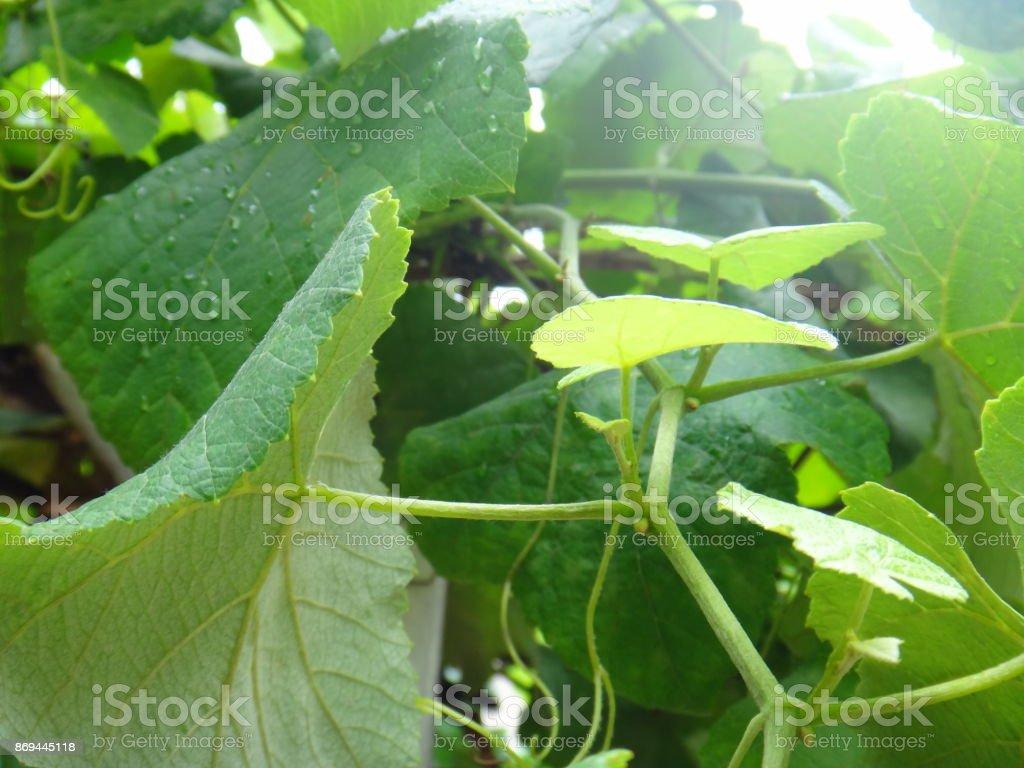 Grapevine branches stock photo