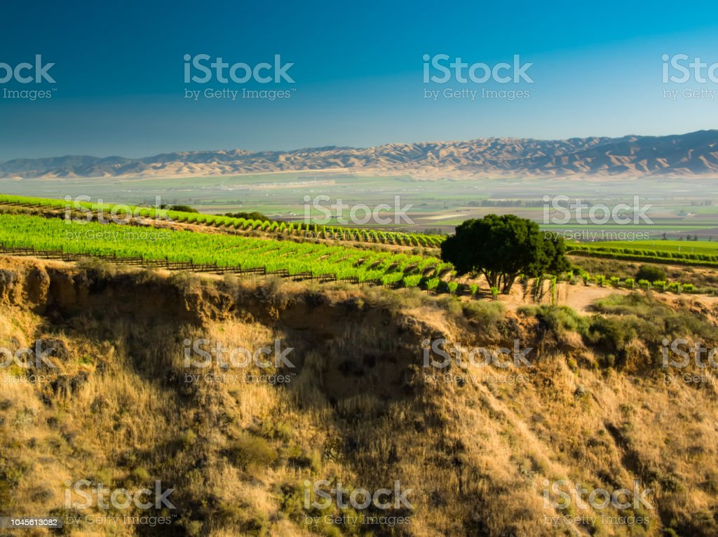 Grapevine Covered Hillside in Monterey County, California stock photo