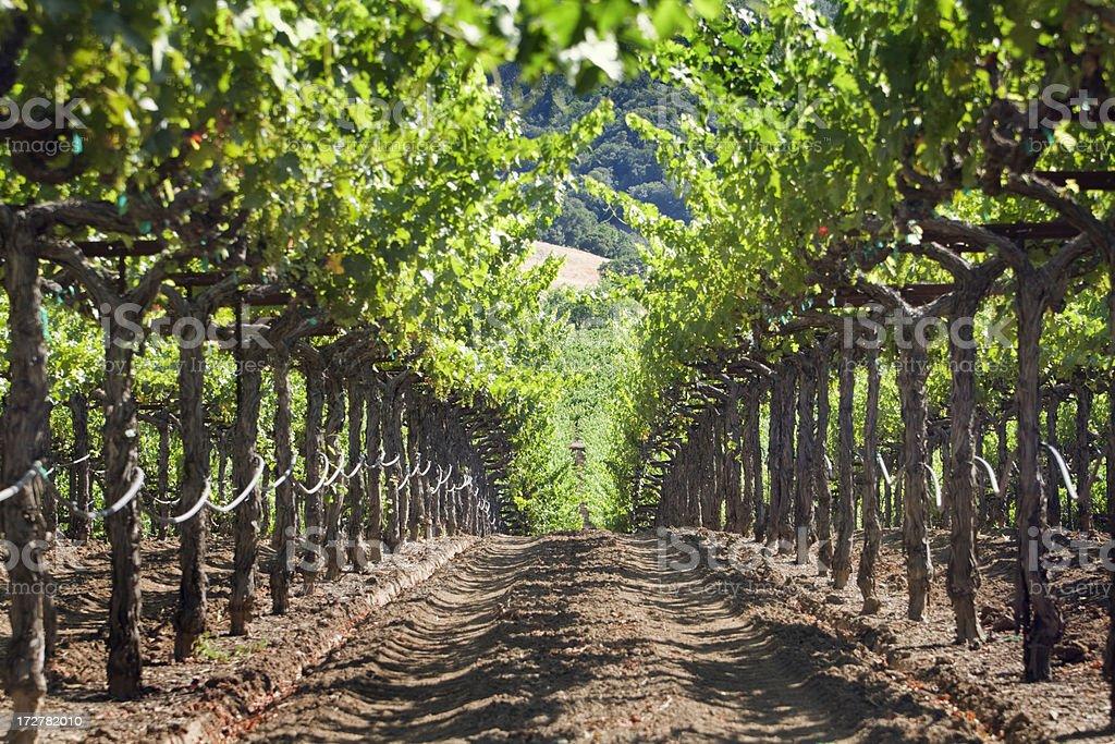 Grapevine Farm of Napa Valley Vineyard in California royalty-free stock photo