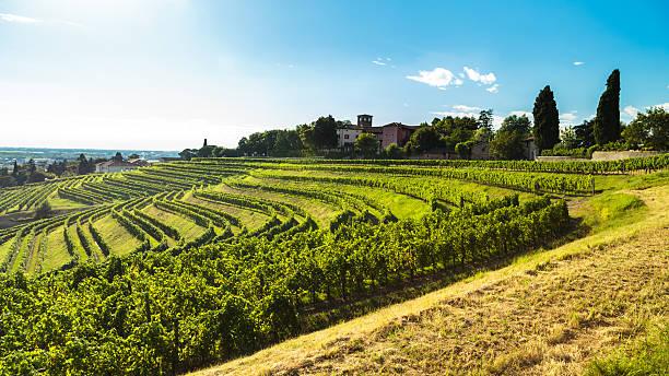 grapevine field in die italienische landschaft  - friaul julisch venetien stock-fotos und bilder