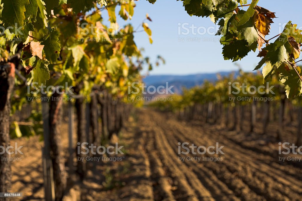 Grapevine in Autumn royalty-free stock photo