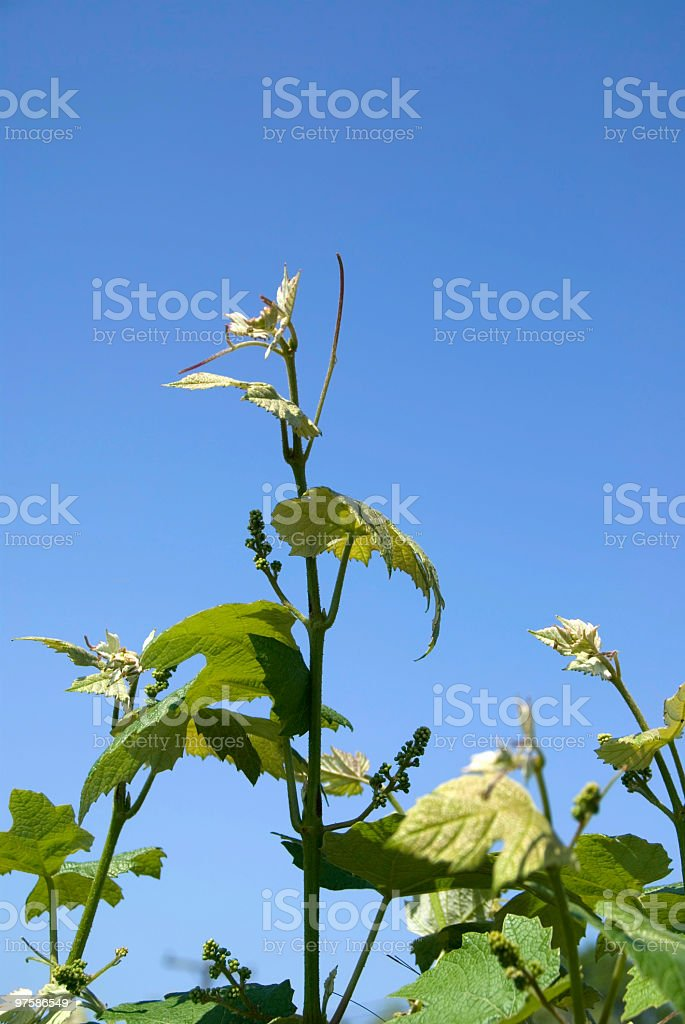Grapevine in Springtime royalty-free stock photo