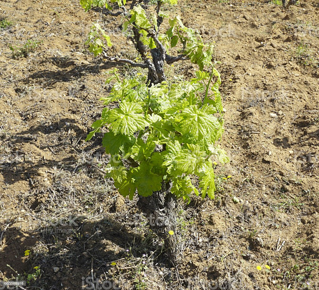 Grapevine in the vineyard with young green leaves in early spring stock photo