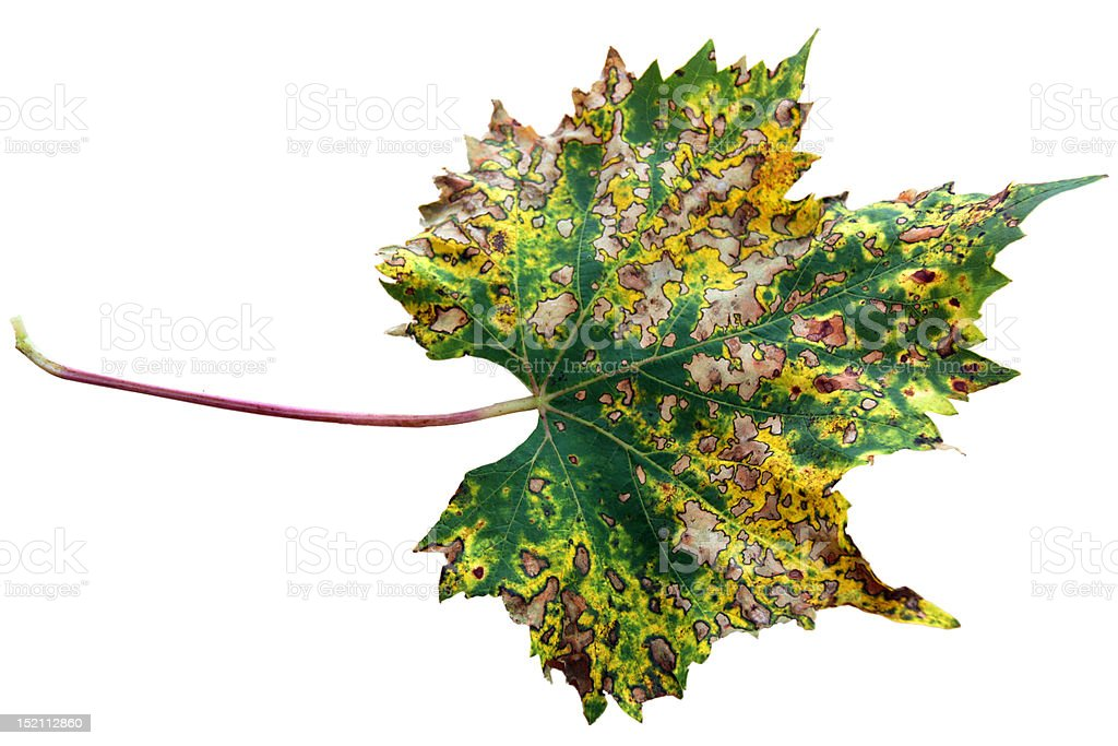Grapevine leaf stock photo
