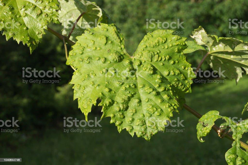 Grapevine verlässt Krankheit – Foto