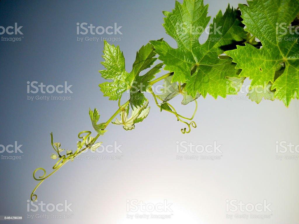 Grapevine stok fotoğrafı