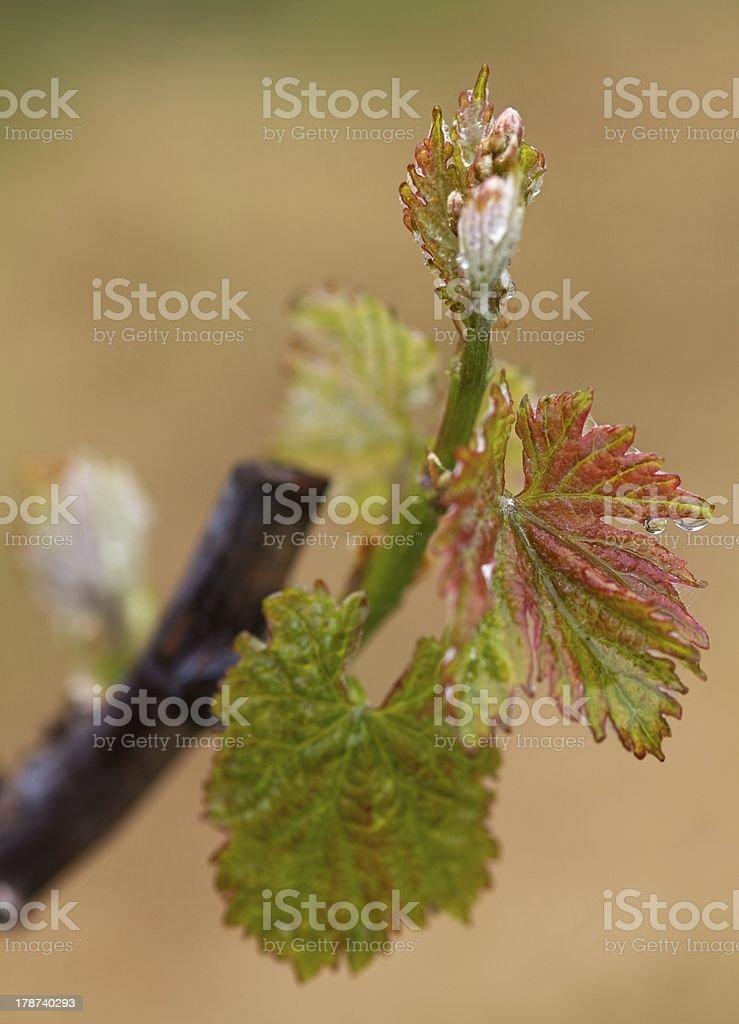 Grapevine shoot stock photo