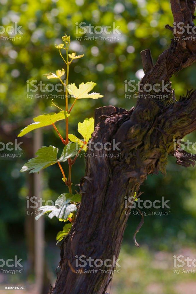 Grapevine trunk - foto stock