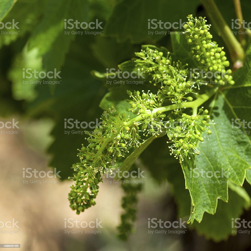 grapevine 'Vranec' in beginning stage of growth stock photo