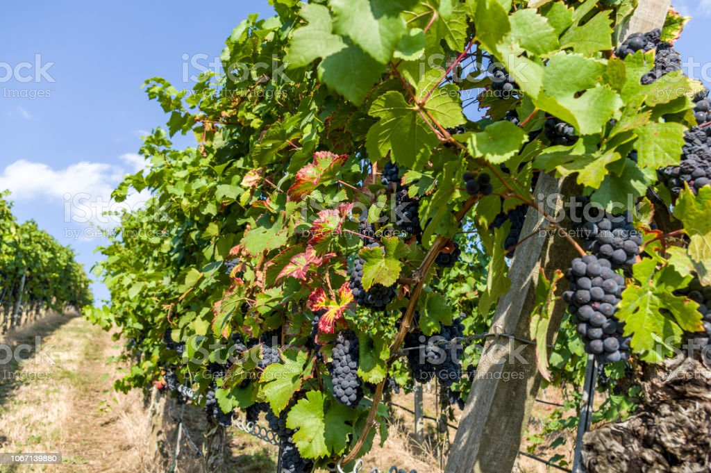 Grapevine with big red grapes and berries and colorful vine leaves