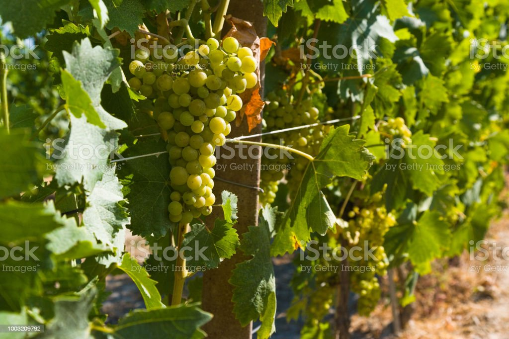Grapevine with grapes - foto stock